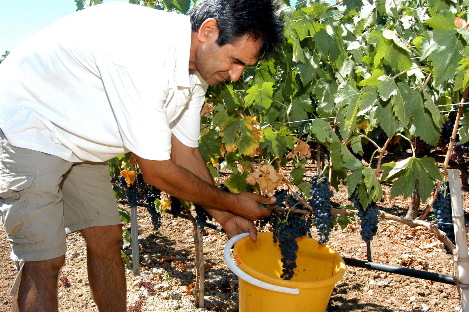 Kos wines from Hatziemmanouil picking grapes