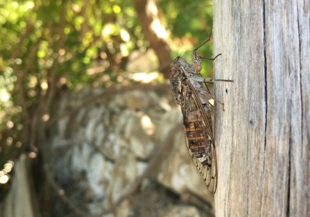 Cicadas – August's soundtrack